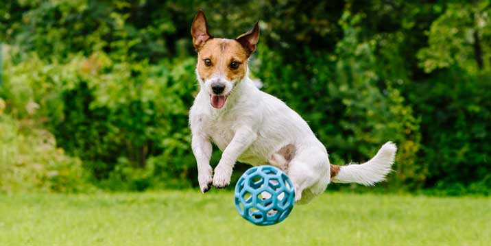 Dog jumping for a toy