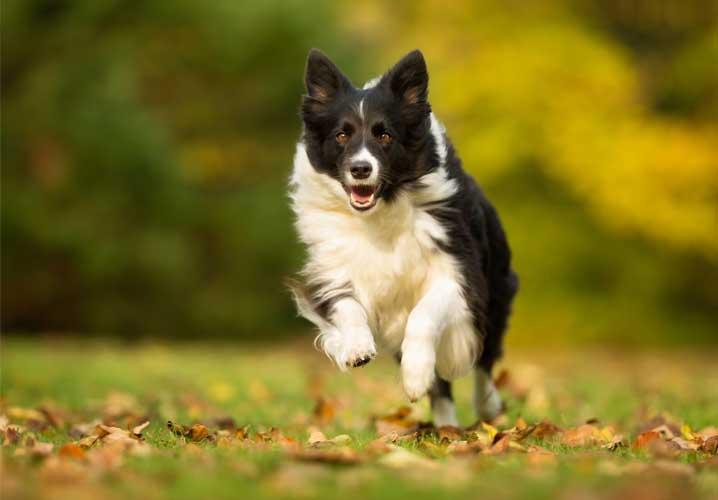Collie dog running through the grass