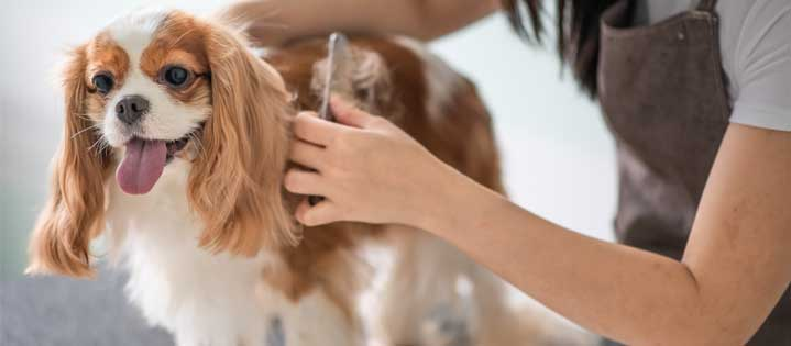 Grooming a small dog